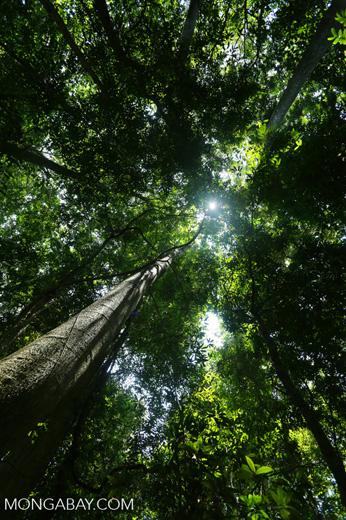 Rainforest tree near Jantho [aceh_0181]