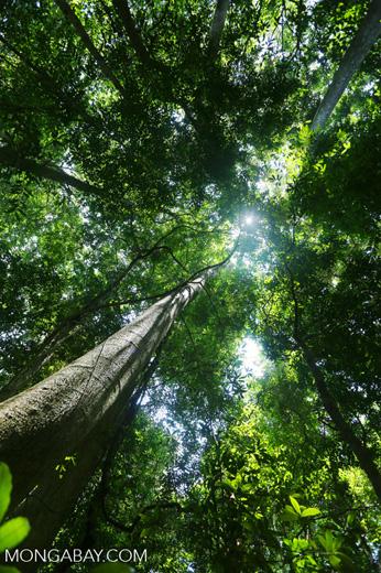 Rainforest tree near Jantho [aceh_0183]