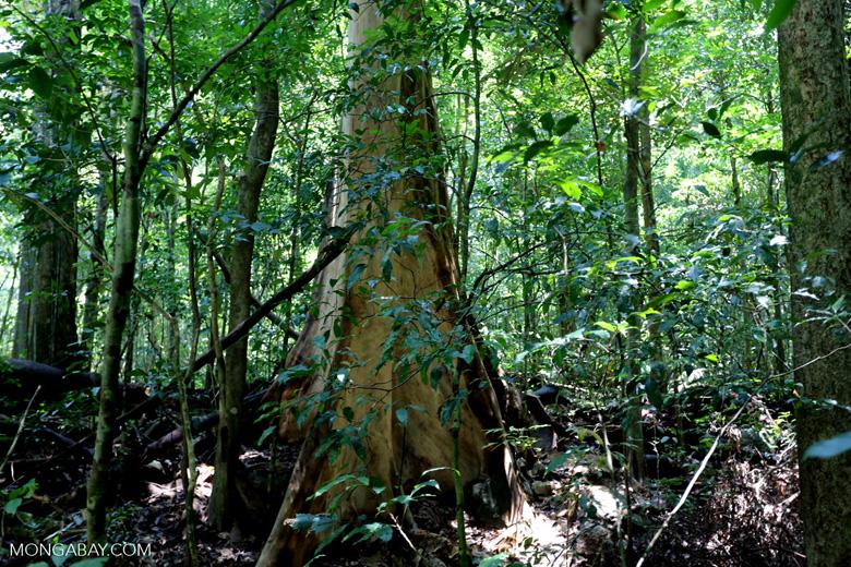 Rainforest tree near Jantho [aceh_0184]