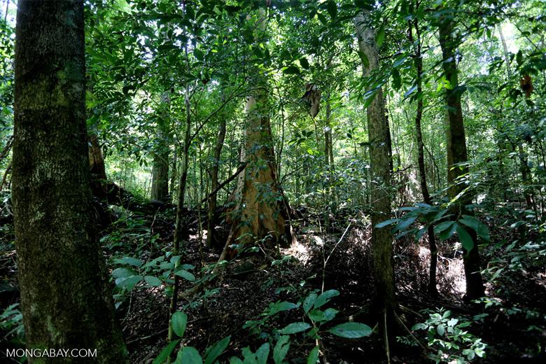 Rainforest tree near Jantho [aceh_0185]