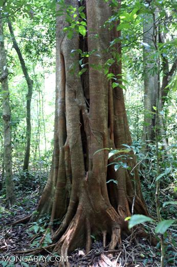 Rainforest tree near Jantho [aceh_0187]