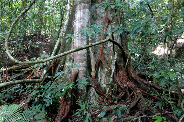 Rainforest tree near Jantho [aceh_0194]