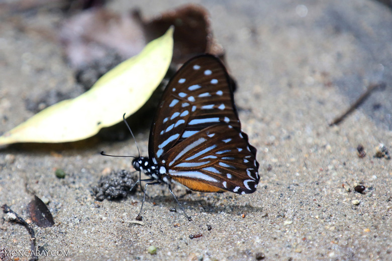 Butterfly in Aceh [aceh_0197]