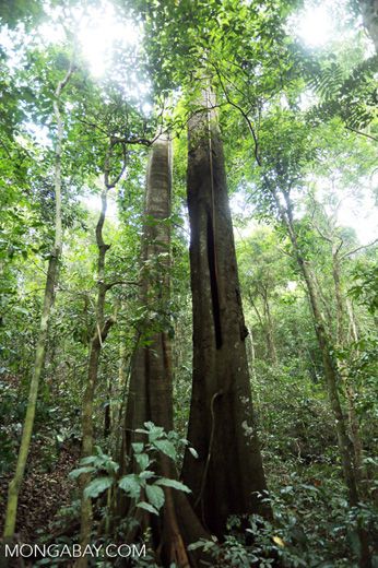 Rainforest tree in Aceh