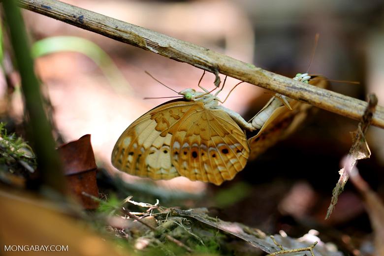Mating butterflies [aceh_0421]