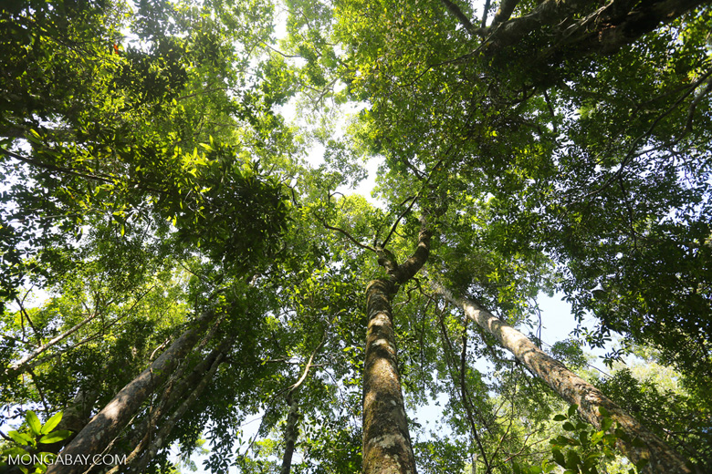 Aceh forest canopy