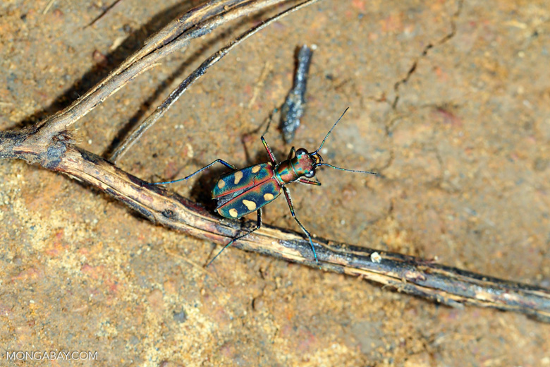 Tiger beetle [aceh_0517]