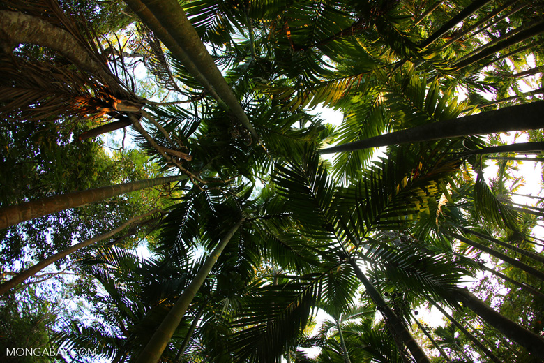 Beetlenut palm grove
