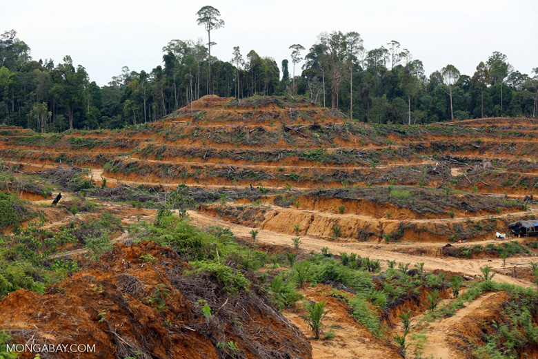 Illegal deforestation for an oil palm plantation in Aceh Tamiang in 2014. Photo by Rhett A. Butler