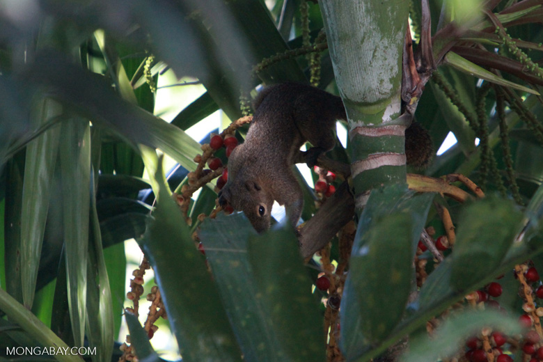 Squirrel feeding on palm fruits