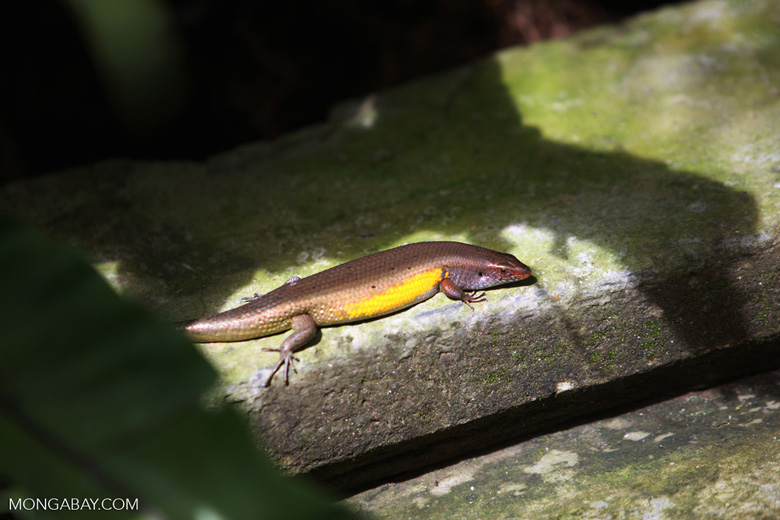 Skink with a bright yellow flank