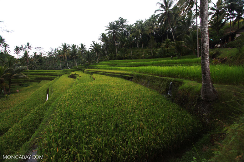 Rice terraces at Gunung Kawi