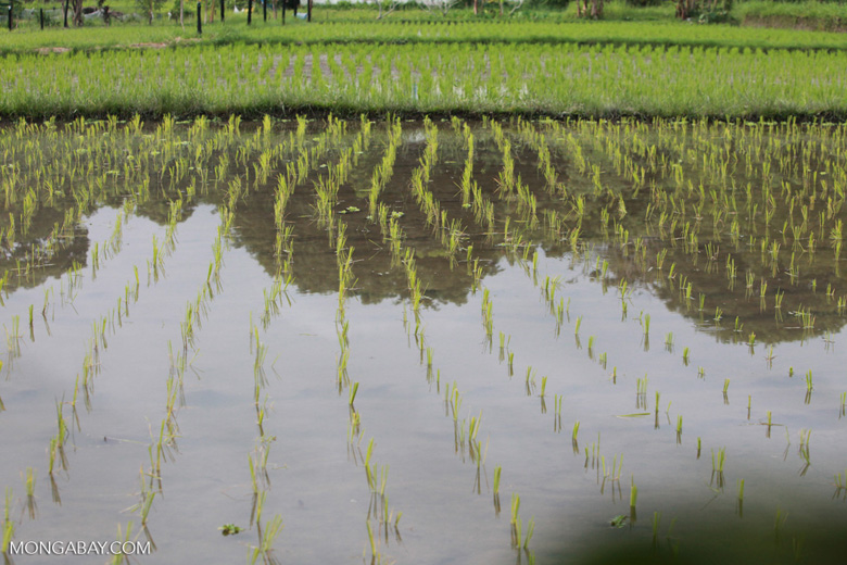 New rice emerging out of a paddy