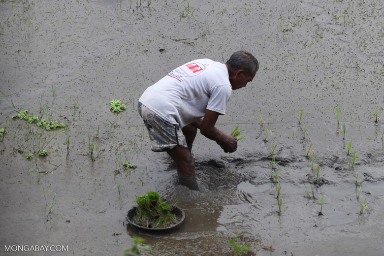 Man planting rice in Indonesia