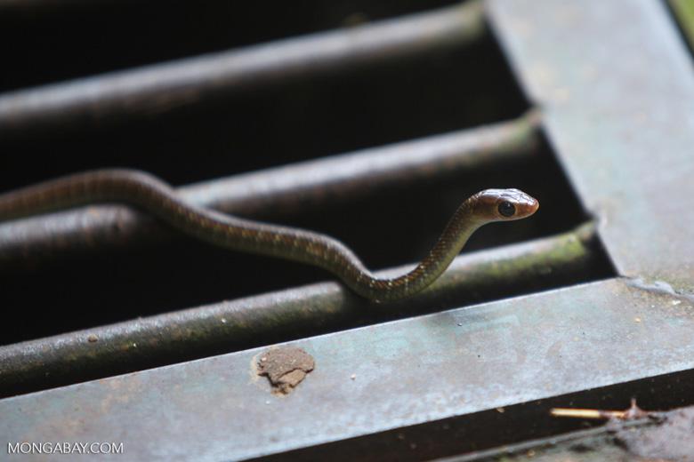 Bali snake