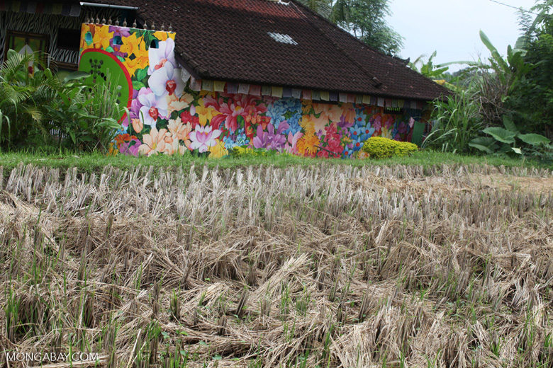 Dry rice and a colorful home in Bali