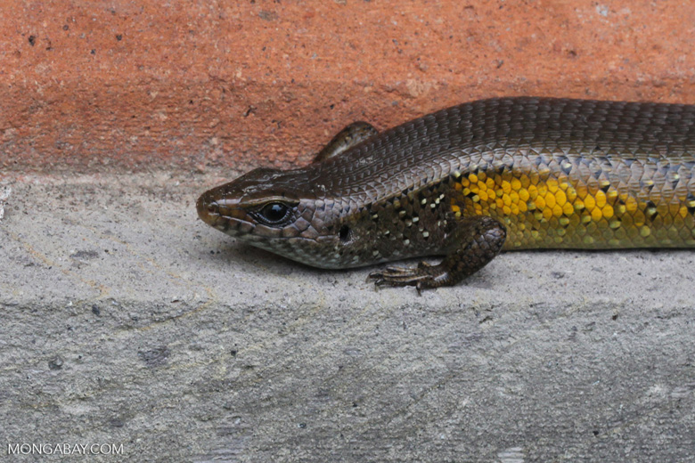Skink with yellow flanks