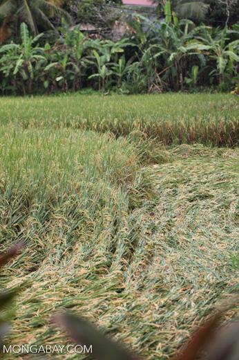 Rice harvesting in Bali