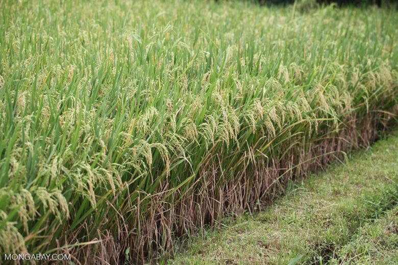Rice in Bali
