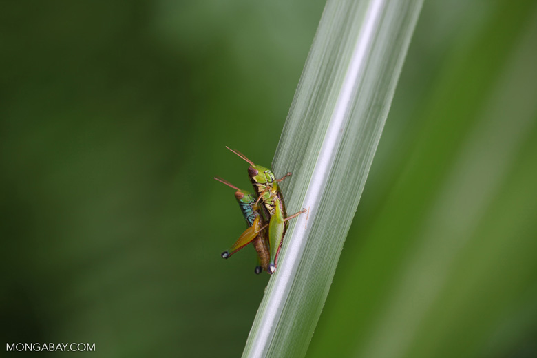 Green, yellow, and turquoise grasshoppers