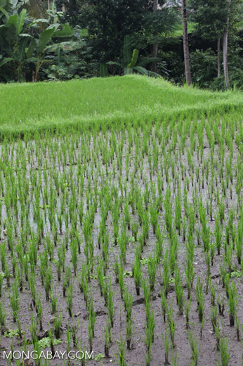 Rice Fields Close Up