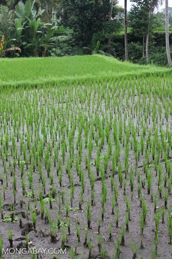 Rice Fields Close Up
