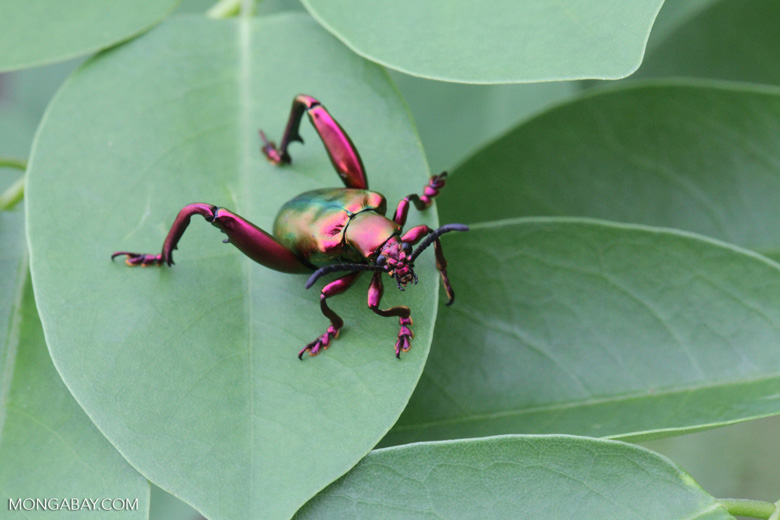 Spectacular red and green beetle in Bali