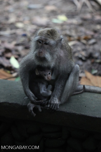 Bearded Macaque and baby