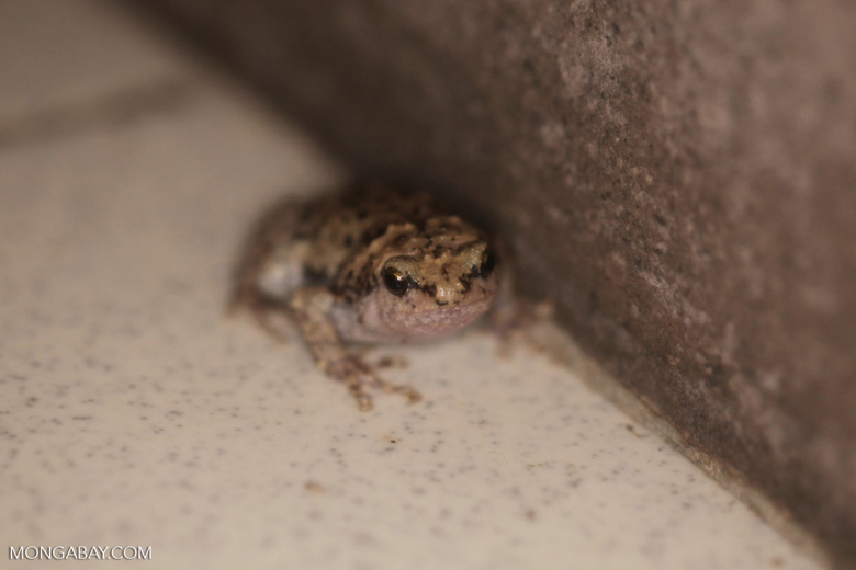 Gray toad with black spots
