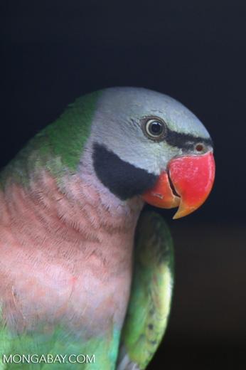 Moustached Parakeet (Psittacula alexandri)