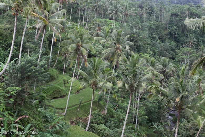 Terraced rice fields at Gunung Kawi