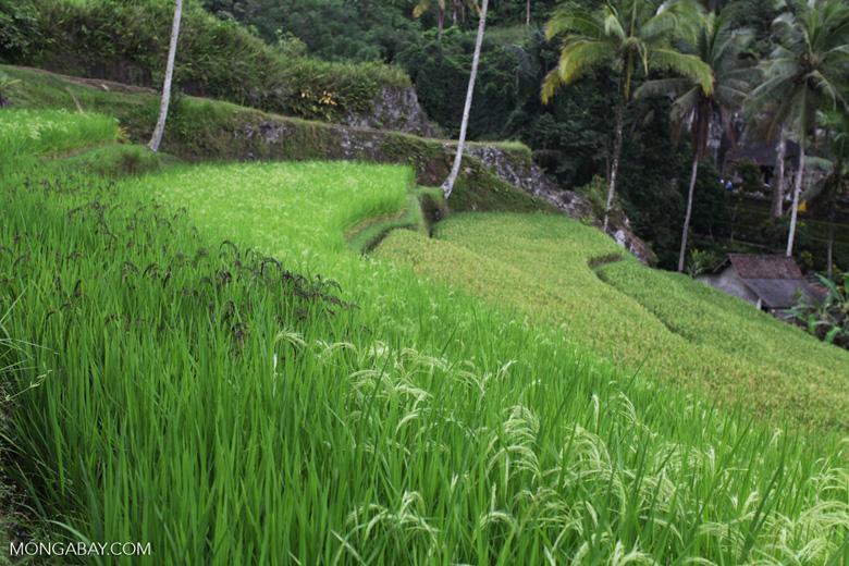 Terraced rice paddies at Gunung Kawi