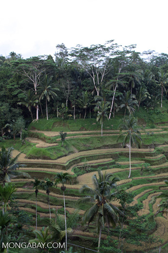 Terraced rice fields at Tegalalang