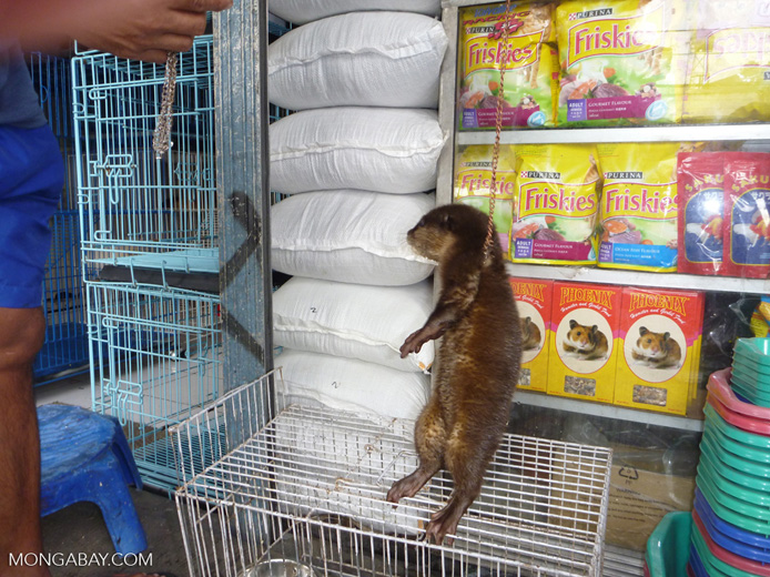 Pet otter for sale in the animal market in Jakarta