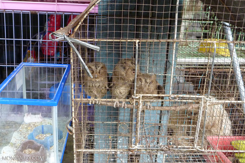 Owls for sale in the animal market in Jakarta [java_0028]
