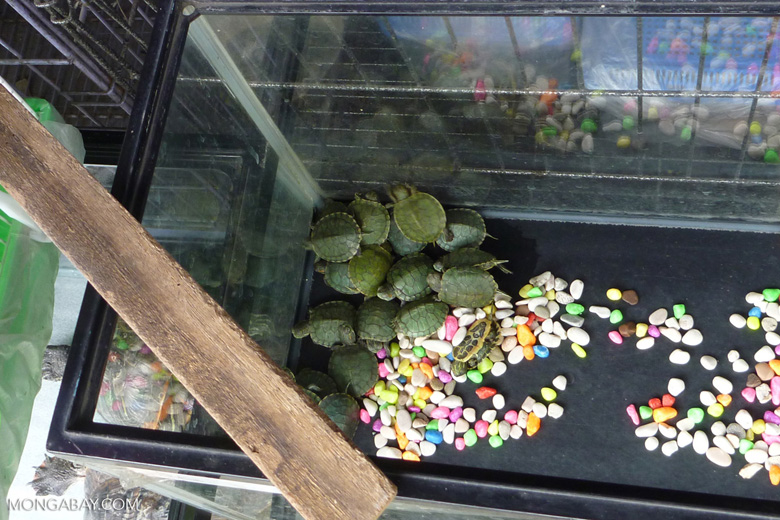Baby turtles for sale as pets in the animal market in Jakarta