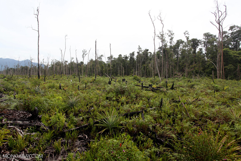 Deforested area being planted with pineapple and other crops after logging and burning [kalbar_0019]