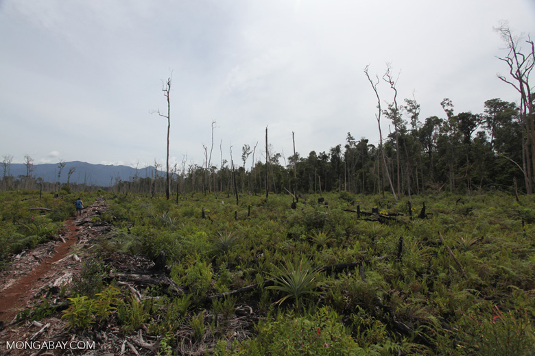 Deforested peat forest in West Kalimantan, Indonesia [kalbar_0025]