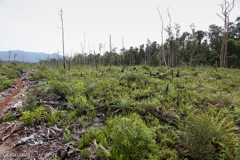 Deforested area being planted with pineapple and other crops after logging and burning [kalbar_0020]