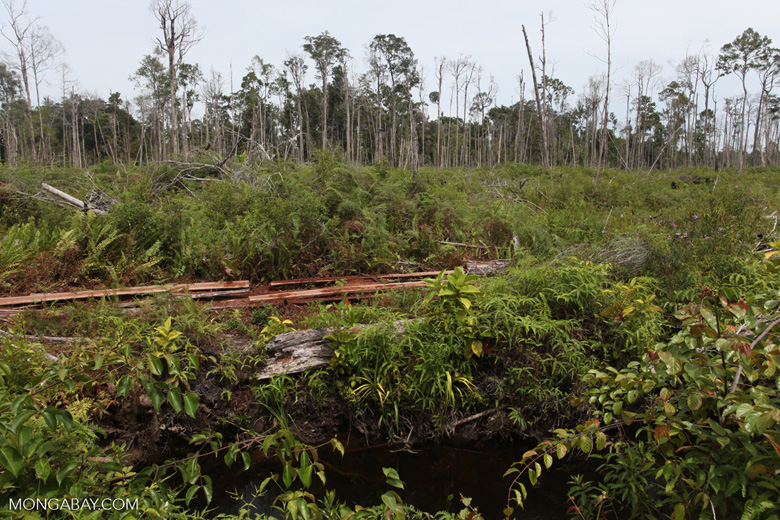 Deforested peat forest in West Kalimantan, Indonesia [kalbar_0040]