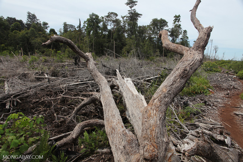 Deforested peat forest in West Kalimantan, Indonesia [kalbar_0041]