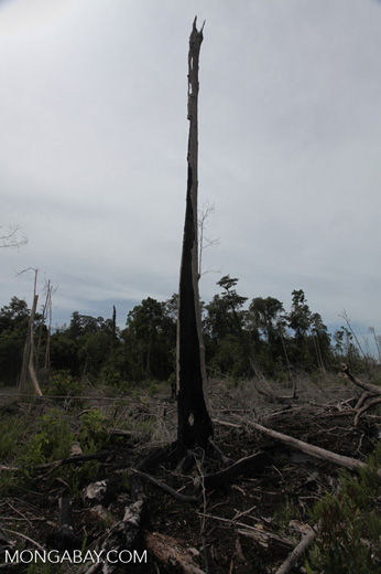 Burned out tree stumps in a former rainforest in Borneo [kalbar_0051]