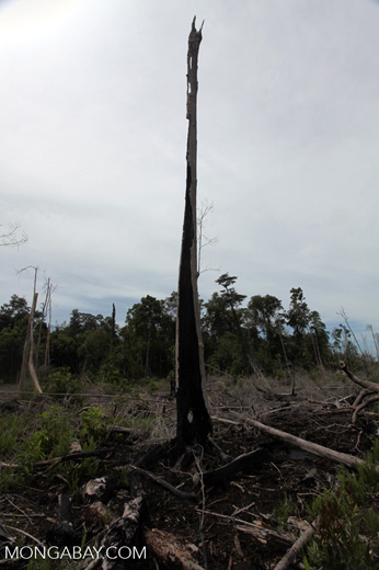 Burned out tree stumps in a former rainforest in Borneo