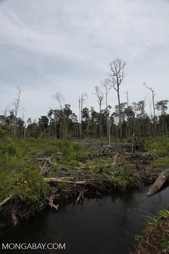 Destroyed peat forest in Indonesian Borneo