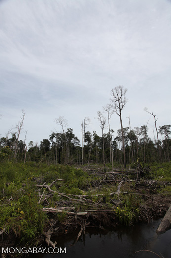 Deforested peat forest in West Kalimantan, Indonesia [kalbar_0063]