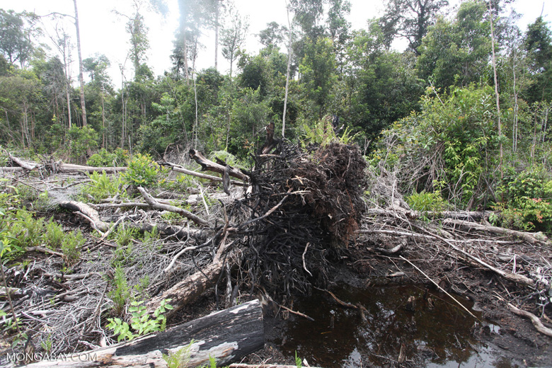 Deforested peat forest in West Kalimantan, Indonesia [kalbar_0066]