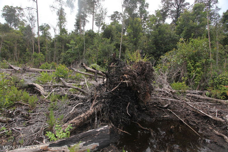 Deforested peat forest in West Kalimantan, Indonesia [kalbar_0068]