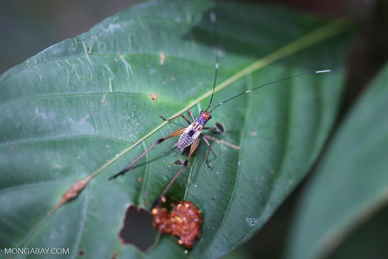 Multicolored katydid [kalbar_0079]