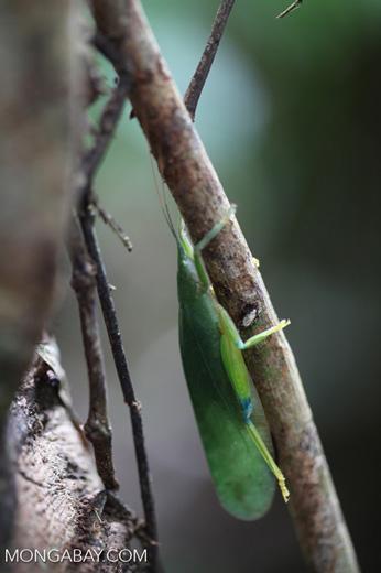 Green leaf-like katydid