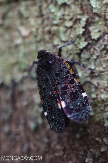 Black, purple, turquoise, red and orange leafhopper [kalbar_0115]